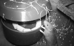 Bild Koederbox und Ratte im Abwasserkanal